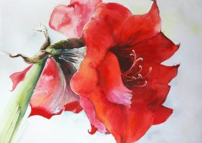 rote-amaryllis
